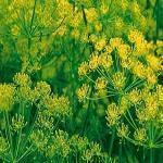 dill (Anethum graveolens var. hortorum), inflorescences