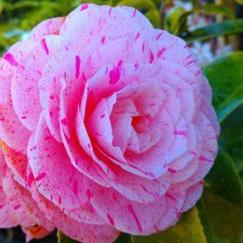 Decorative de interior camellia - Comunitatea Botanistii