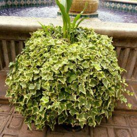 Decorative de interior hedera - Comunitatea Botanistii