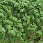 Lepidium sativum 1