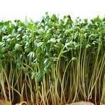 Freshly sprouted garden cress