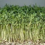 Lepidium sativum 4