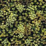 Levisticum officinale flori