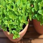 Majorana hortensis 3