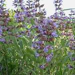 SALVIA OFFICINALIS HD