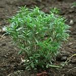 Satureja hortensis 1