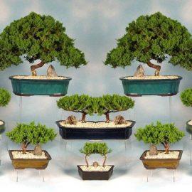 Decorative de interior bonsai - Comunitatea Botanistii