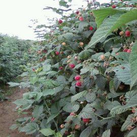 informatii cultivare arbusti