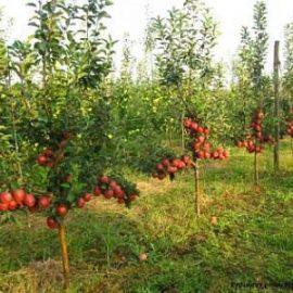 cultivarea pomilor fructiferi