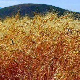 cultivarea si ingrijirea cerealelor
