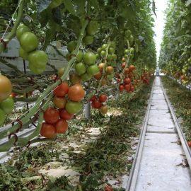cultivarea si ingrijirea legumelor