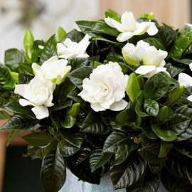 Decorative de interior gardenia - Comunitatea Botanistii