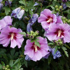 Decorative de exterior hibiscus - Comunitatea Botanistii