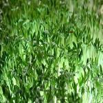 lepidium sativum 2