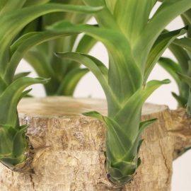 Decorative de interior yucca - Comunitatea Botanistii