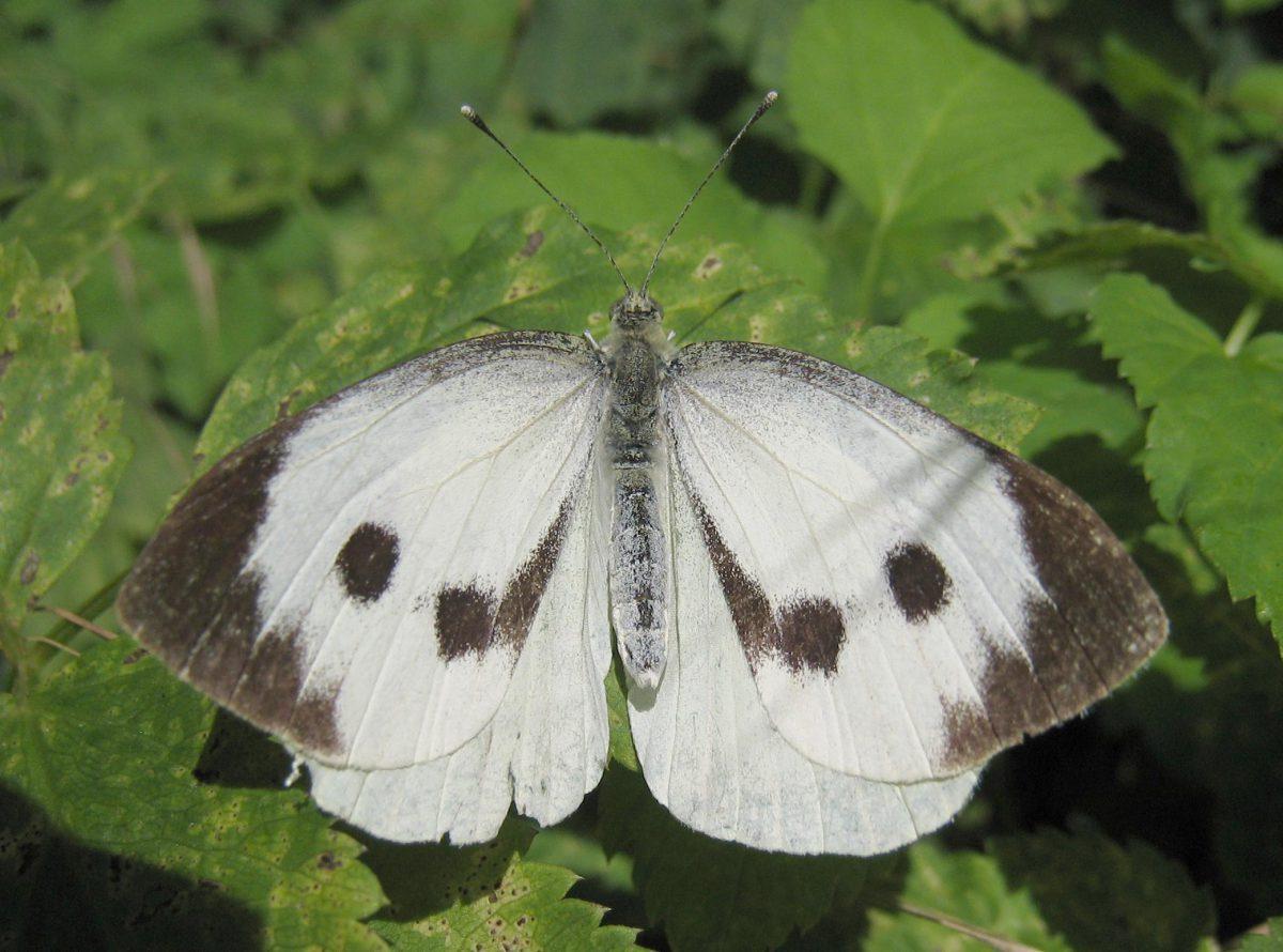 fluturele-alb