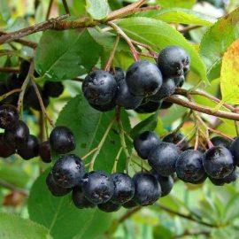Arbusti aronia (scorus negru) - Comunitatea Botanistii