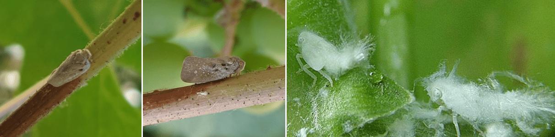 cicada-melifera-metcalfa-pruinosa-atac
