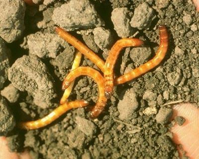 agriotes larva 1