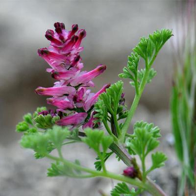 floarea 2