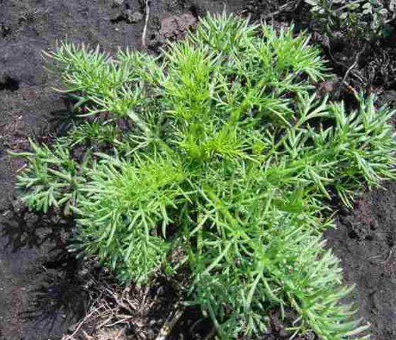 plantuta 2