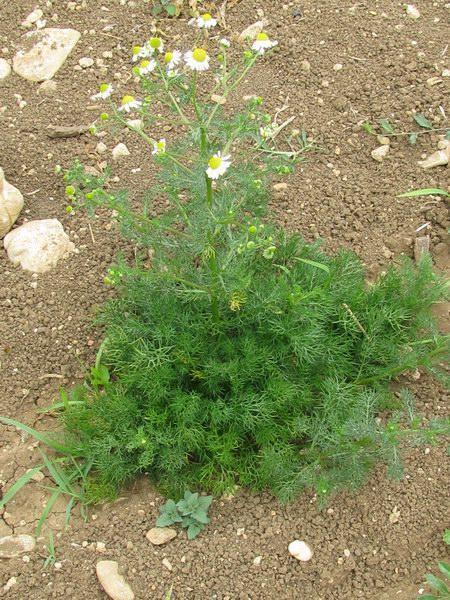 plantuta