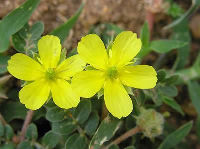 floarea 1