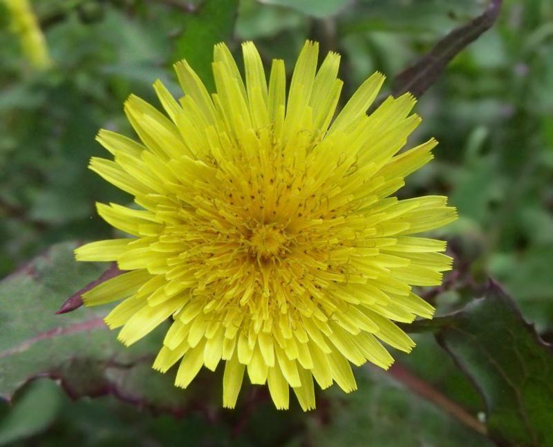 floarea