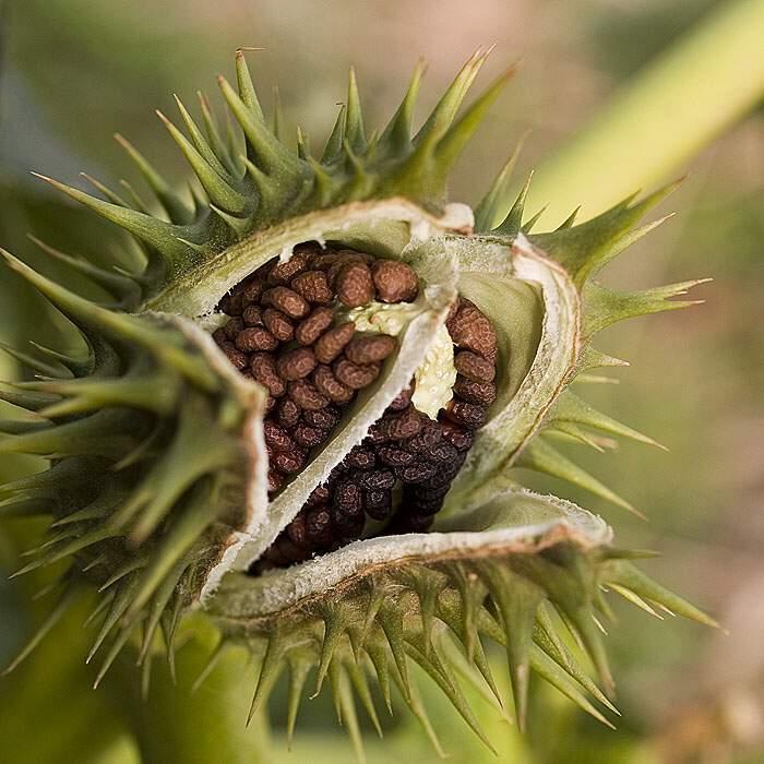 fructul
