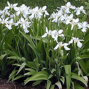 iris alb