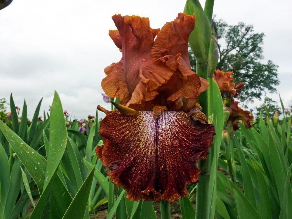 iris portocaliu
