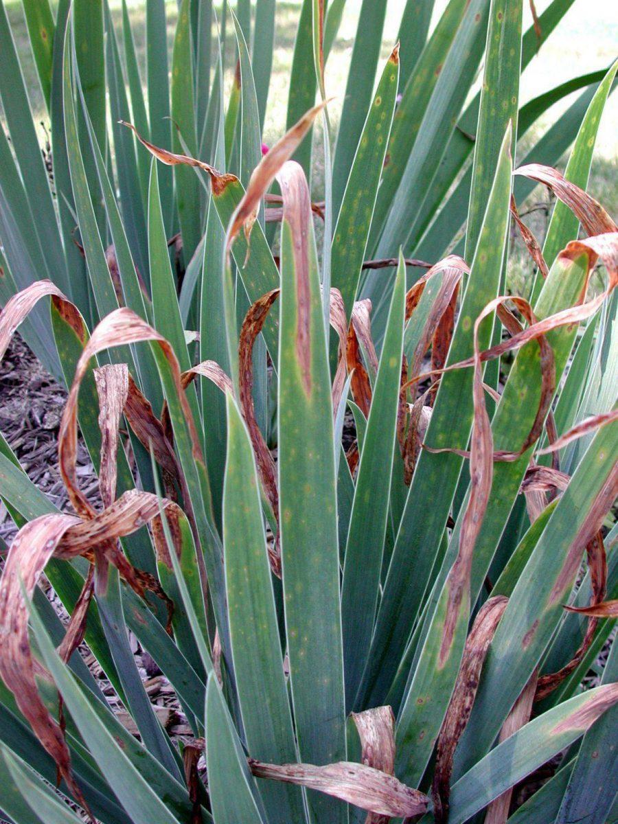 patarea frunzelor la Iris