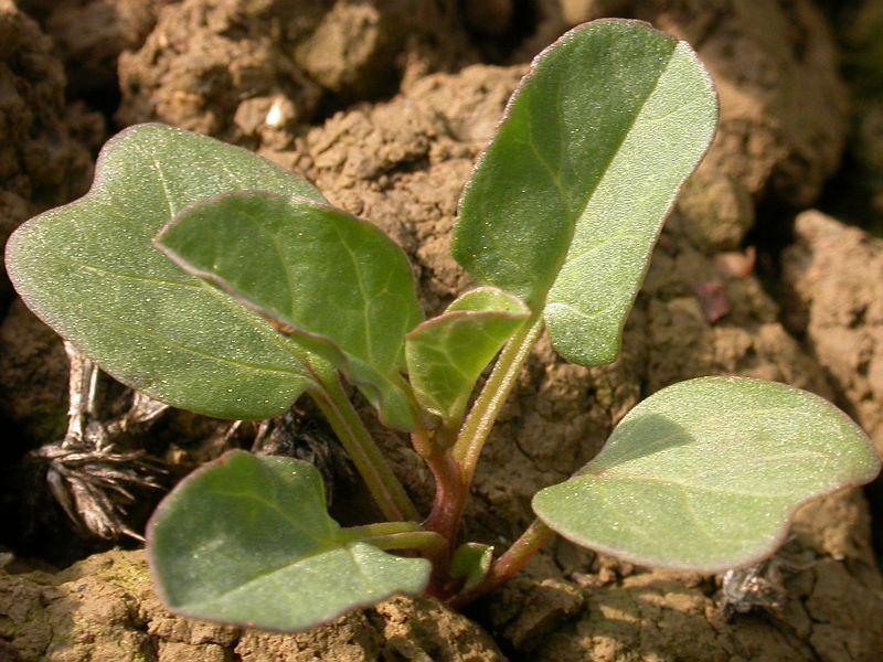 plantuta 1