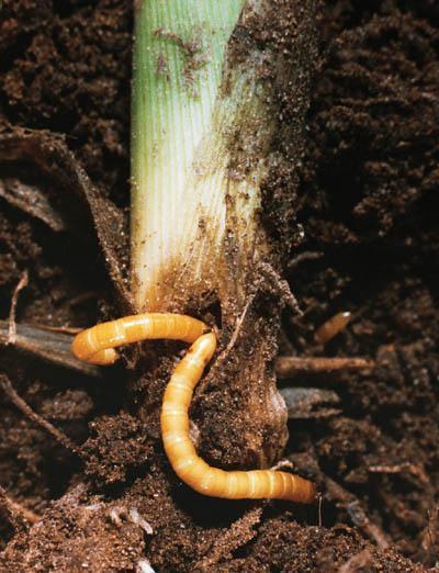 Larve des Schnellkäfers (Drahtwurm) beim Fraß an einer Maispflanze Copyright: Bayer CropScience AG