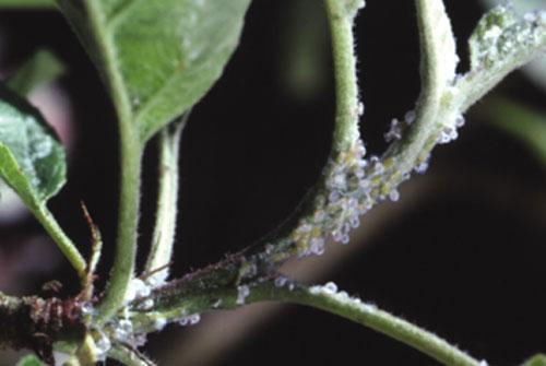 planta atacata
