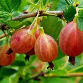 Arbusti agrisul - Comunitatea Botanistii