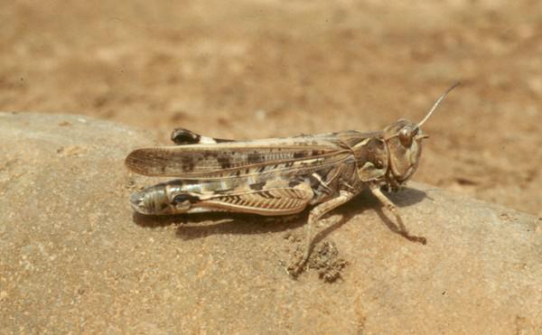 lacusta marocana -adult 1