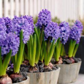 Flori de gradina zambile - Comunitatea Botanistii