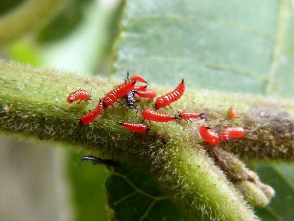adult si larve