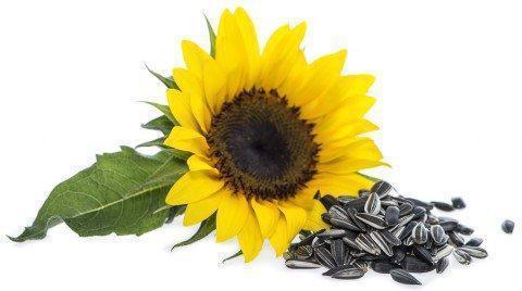 floarea-soarelui-seminte