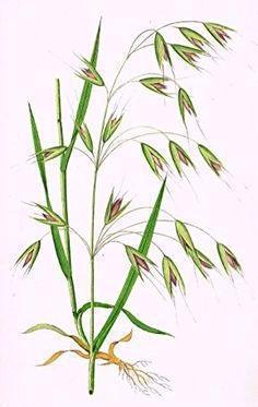 ovaz-planta