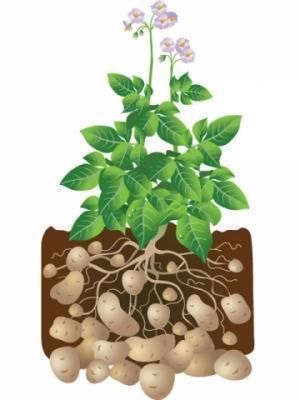 planta-cartof