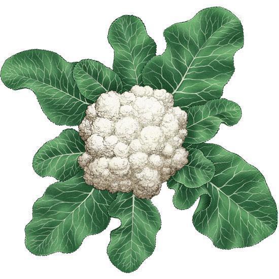 conopida-planta