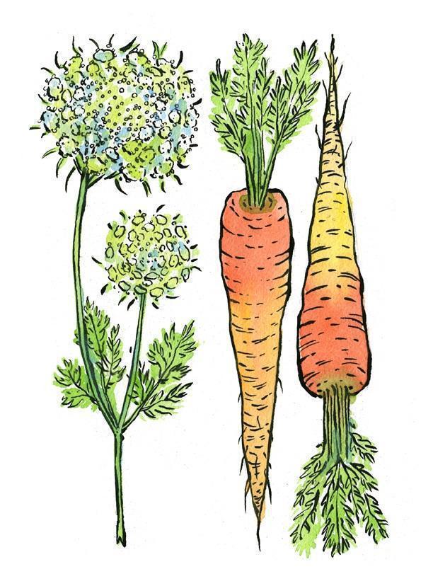 morcov-planta