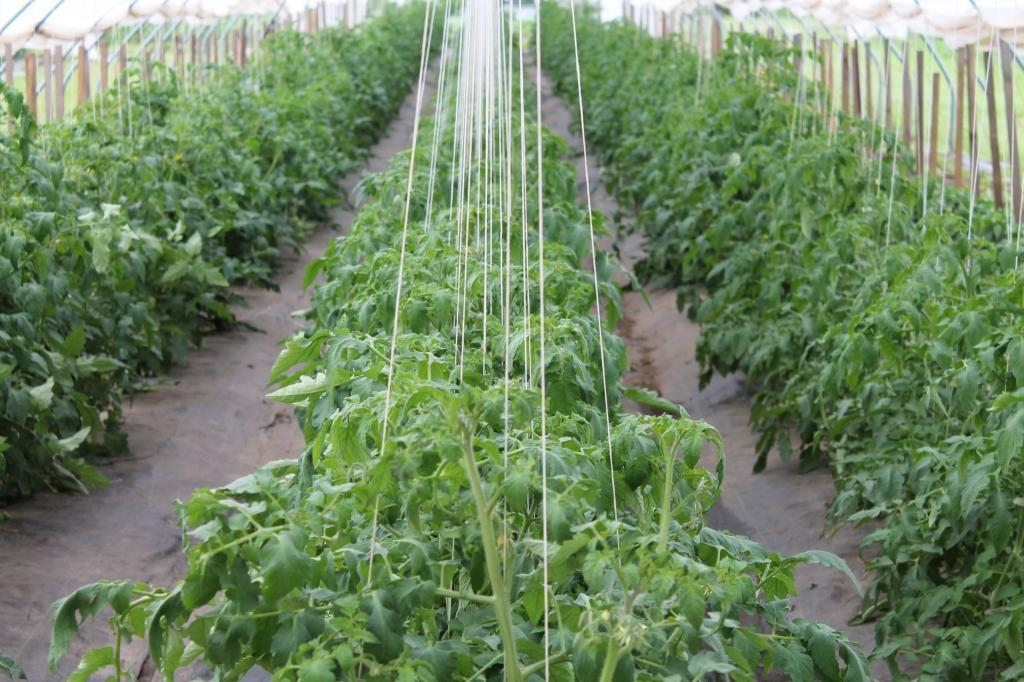 palisare-tomate