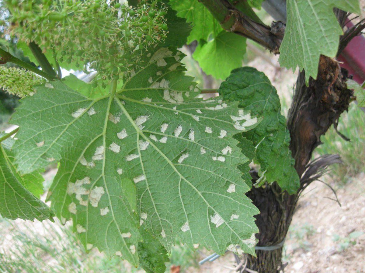planta afectata