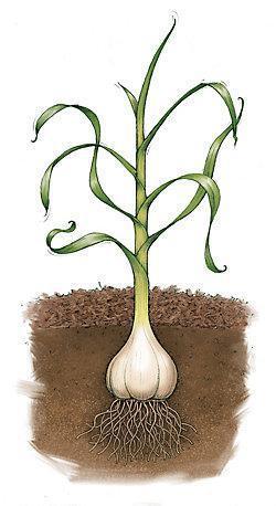 planta-usturoi