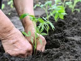 plantare-tomate