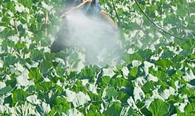 aplicare-pesticide-varza