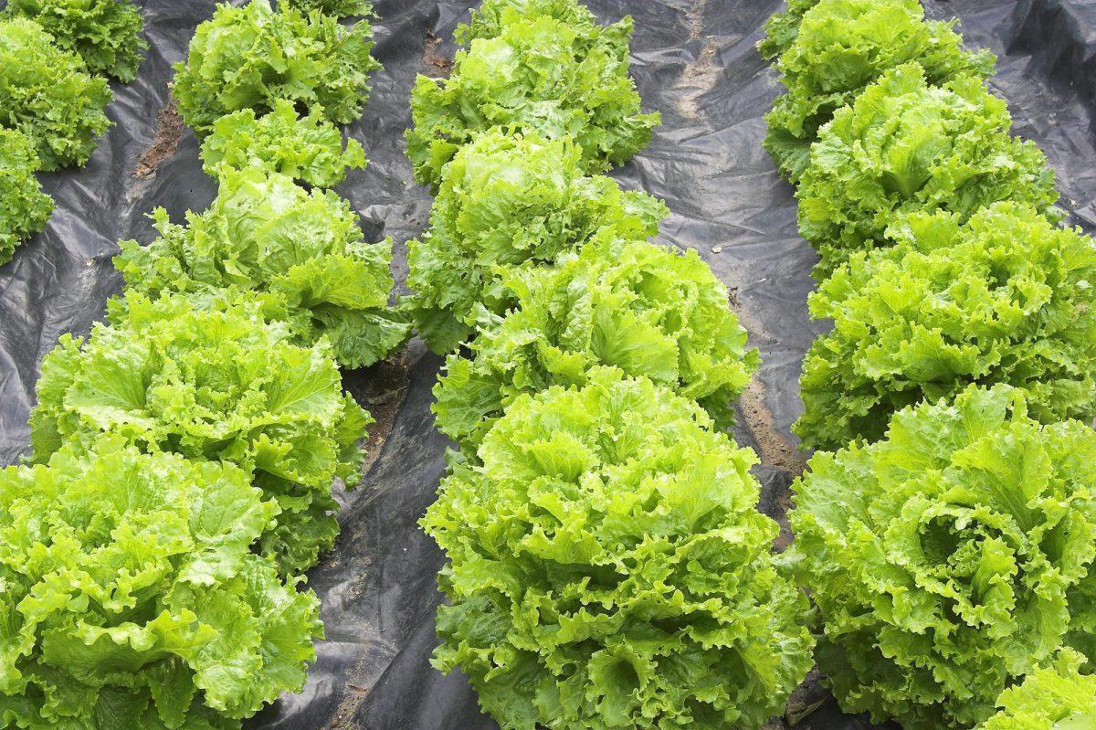 Bio saláta termesztése